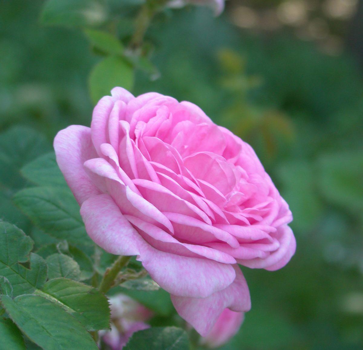 rose2 pixabay