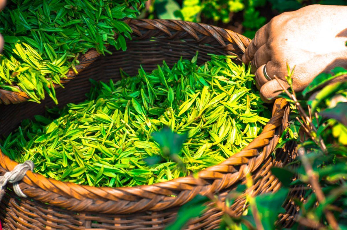 thé vert pixabay