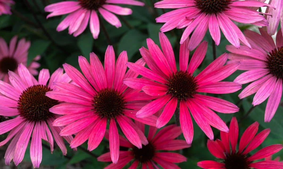 echiancee-rose-pixabay