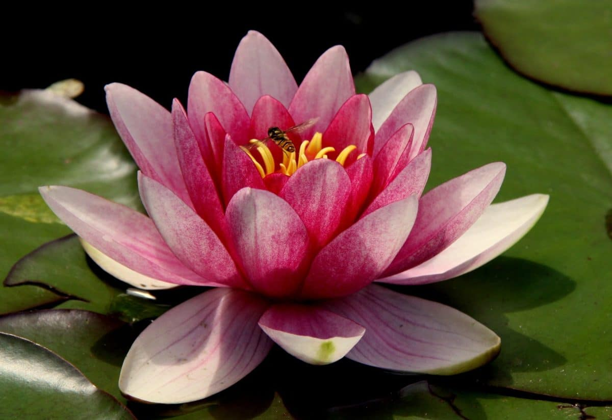 The countless benefits of lotus flower health wellness the benefits of lotus essential oil izmirmasajfo