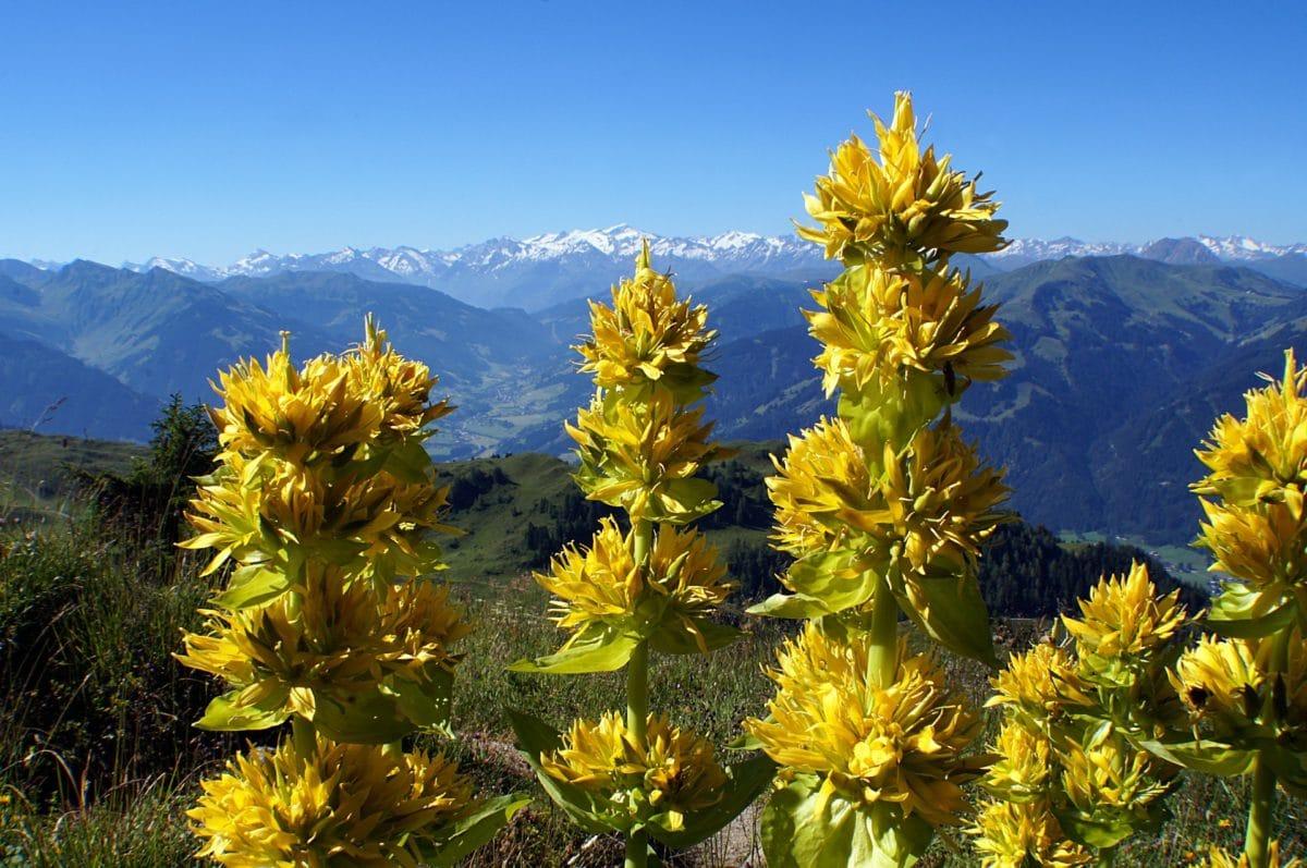 gentiane jaune alpes