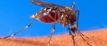 moustique qui transmet la fièvre jaune