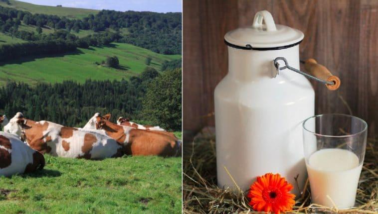 vaches lait
