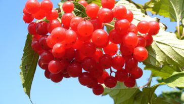 cranberry canneberge baie rouge fruit