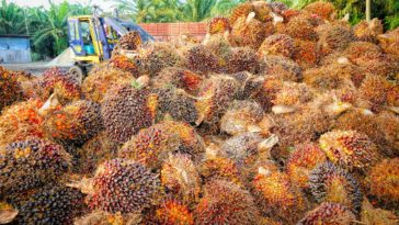 huile palme