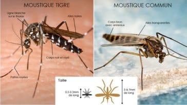 reconnaître moustique tigre