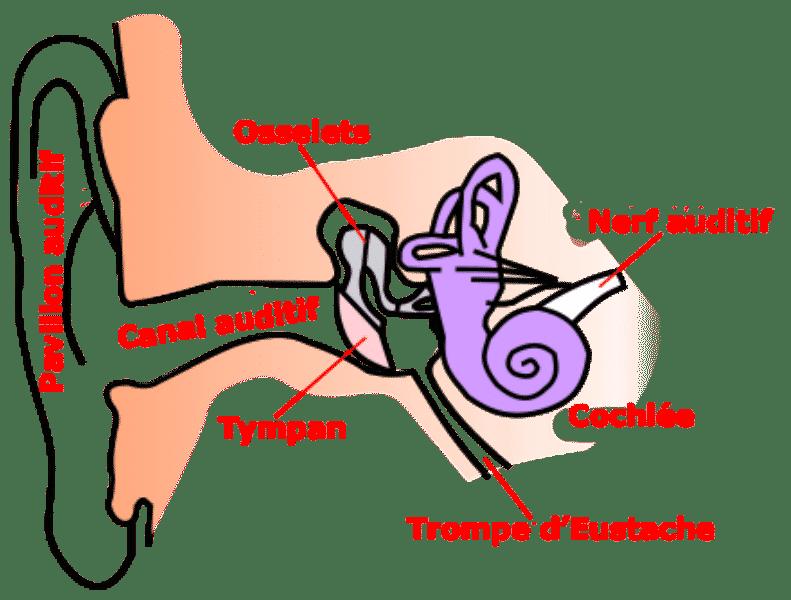 Anatomie_oreille Gilles MAIRET Wikimedia