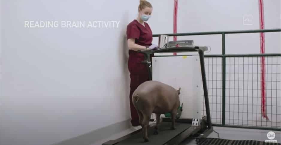 cochon-expérience-neuralink