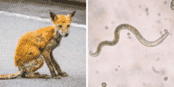 maladie du renard