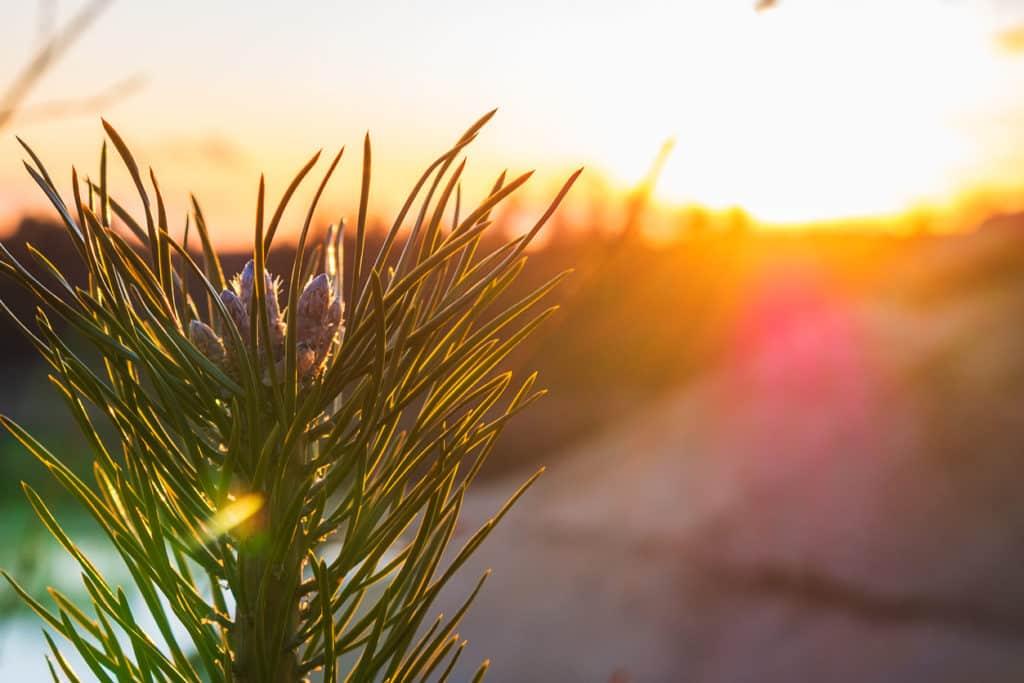 pin-sylvestre-arbre