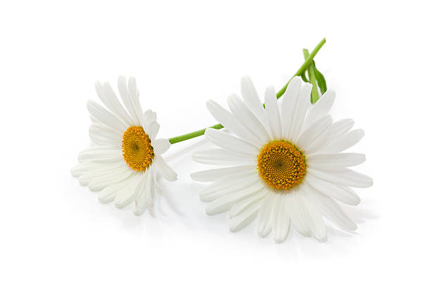 Daisy Flowers on White Background.