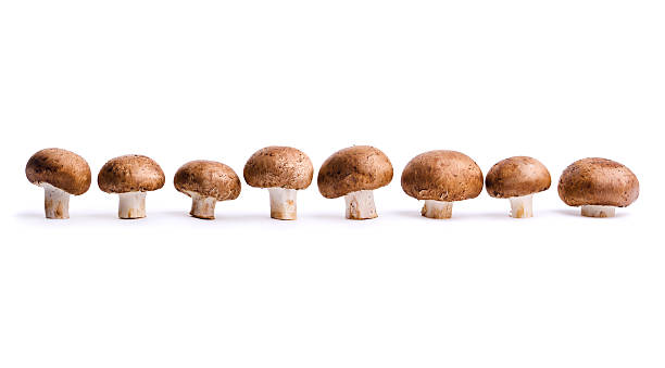Eight edible Portabello mushrooms, a fresh vegetable food in a row, isolated on a white background.